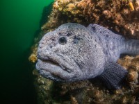 In Search of the World's Ugliest Fish