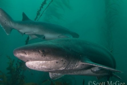 Seven Gill Sharks flock to San Diego