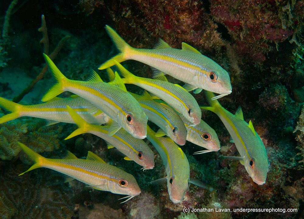 Caribbean Creature Feature: Yellow Goatfish