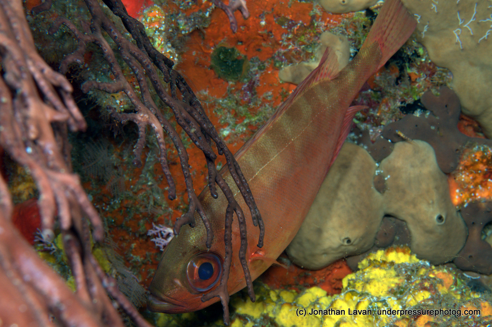 Caribbean Creature Feature: The Glasseye Snapper