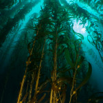 Rare, clear visibility makes for nice sweeping kelp shots - Fantasea RX100 III with Dyron Super Wide Angle Lens.