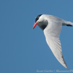 Elegant Tern, cropped image, 10 frames per second using 3D tracking, taken from moving boat, active VR turned on. F4, 1/3200, ISO 200