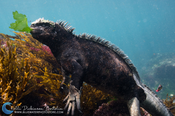 Marine Iguanas dive deep and hold their breath while chowing down on the algae growing on the rocks.
