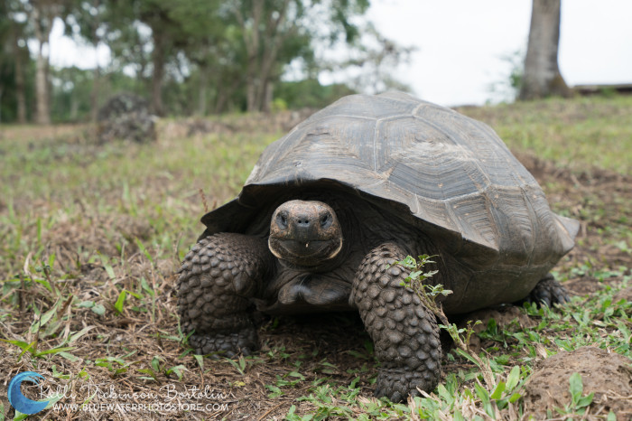 Found no where else, the Giant Tortoises are a must see when visiting the Galapagos.