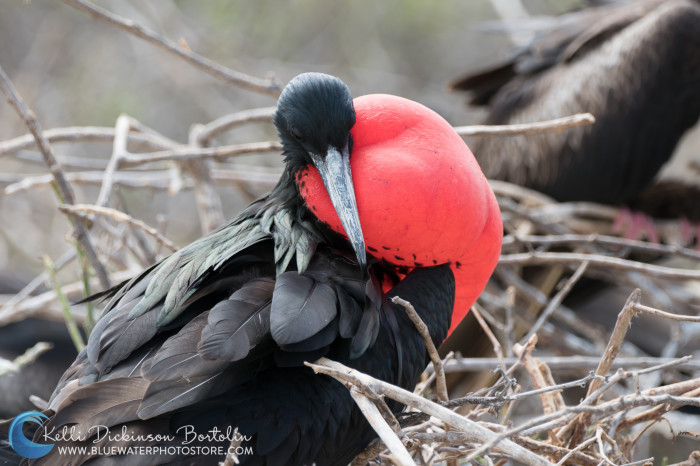 Male Frigate bird in mating display.