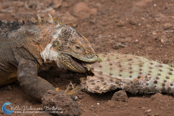 Land Iguana chomps down on a cactus for lunch.
