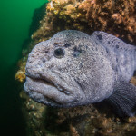 A curious wolf eel peaks out of his wall-side den at Day Island Wall, Puget Sound, Washington.