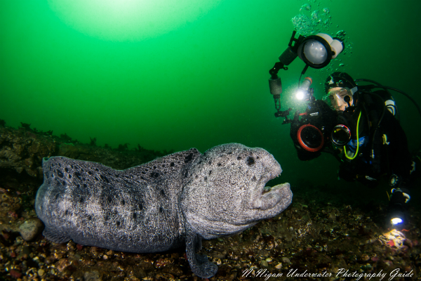 Diver photographing a wolf eel