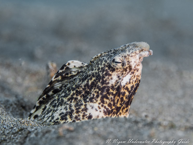 Endemic Freckled Snake Eel, Maui Hawaii.  OM-D E-M5 MKIII with 60mm Macro Lens in Ikelite Housing and dual Ikelite strobes