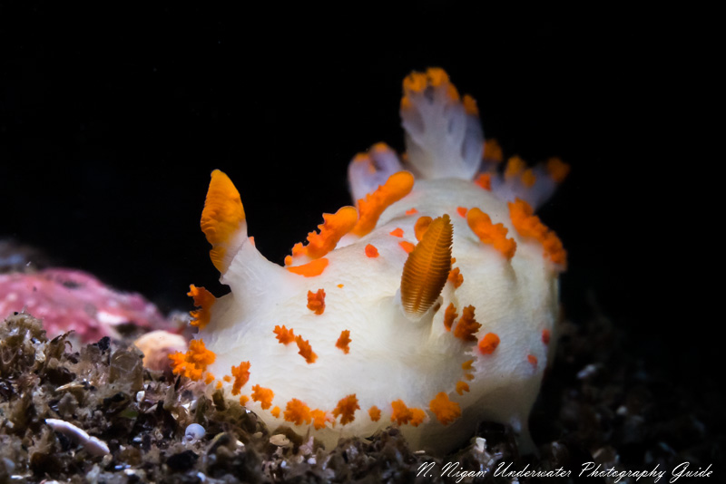 nudibranch photographed with the Sigma 105mm macro