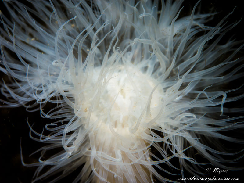 metridium anemone photo with a single Symbiosis SS3 strobe