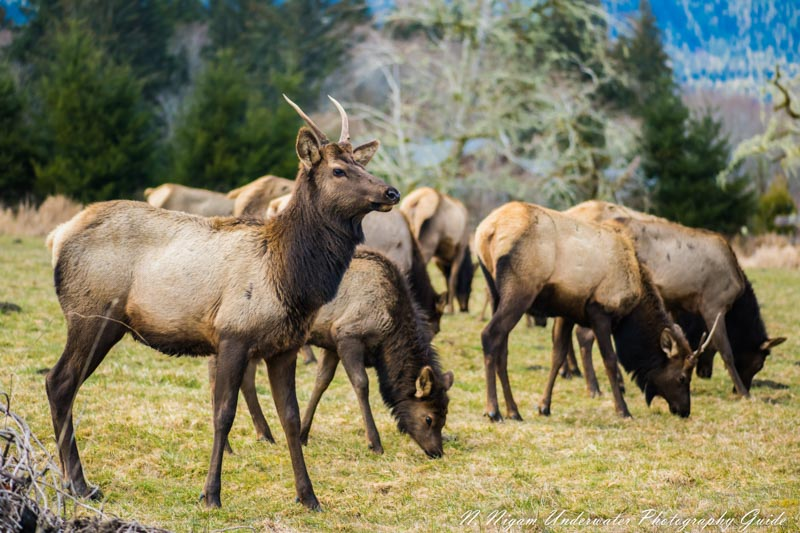Quick auto focus help captured the movements of these elk in the Quinault Rainforest