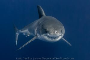 Guadalupe Great White Shark photo workshop trip