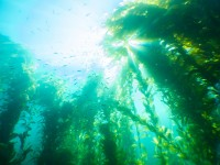 Did You Know? Facts About Kelp