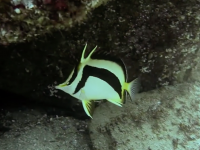 Rare Scythe Butterflyfish video with the Canon G7X