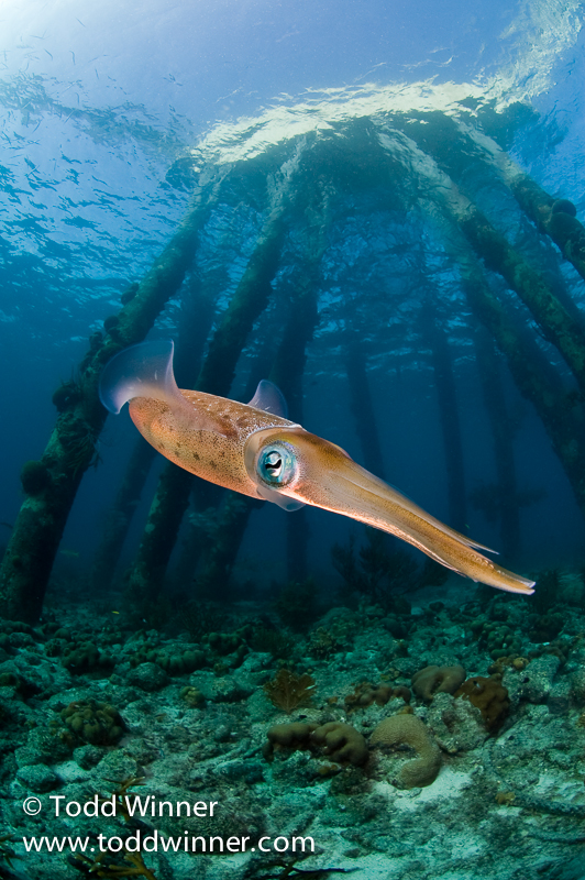 Todd Winner's Wednesday Photo – Reef Squid and Salt Pier