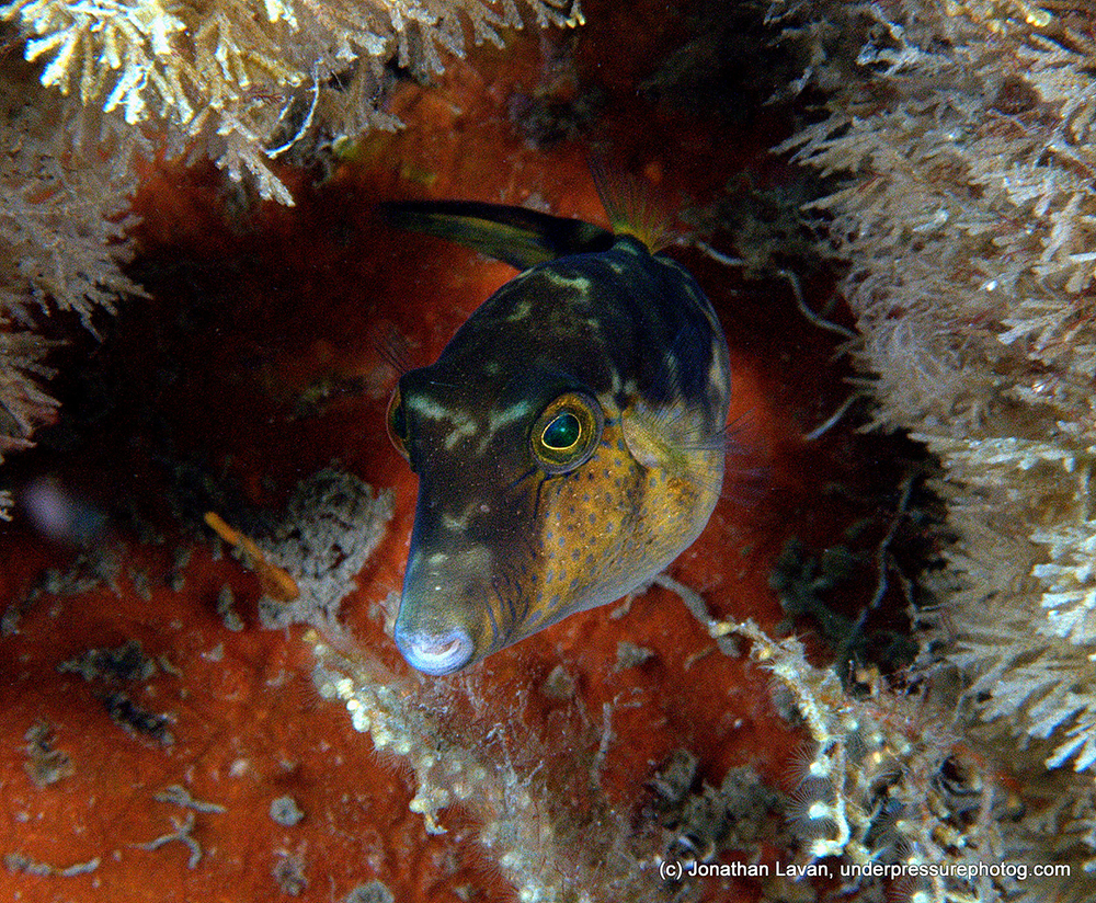 Caribbean Creature Feature: Sharpnose Pufferfish