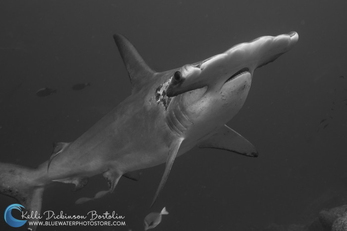 If you stay still and find the right spot, the hammerheads will even swim right over you!