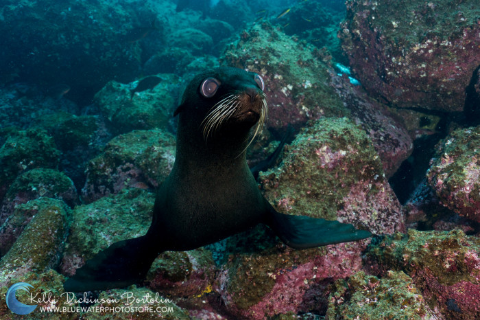Curious Fur Seals frolic in the shallows of Shark Bay.