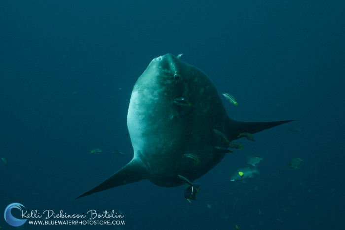Mola Mola (or Mola Ramses) comes up from the deep to get cleaned by these little wrasse.