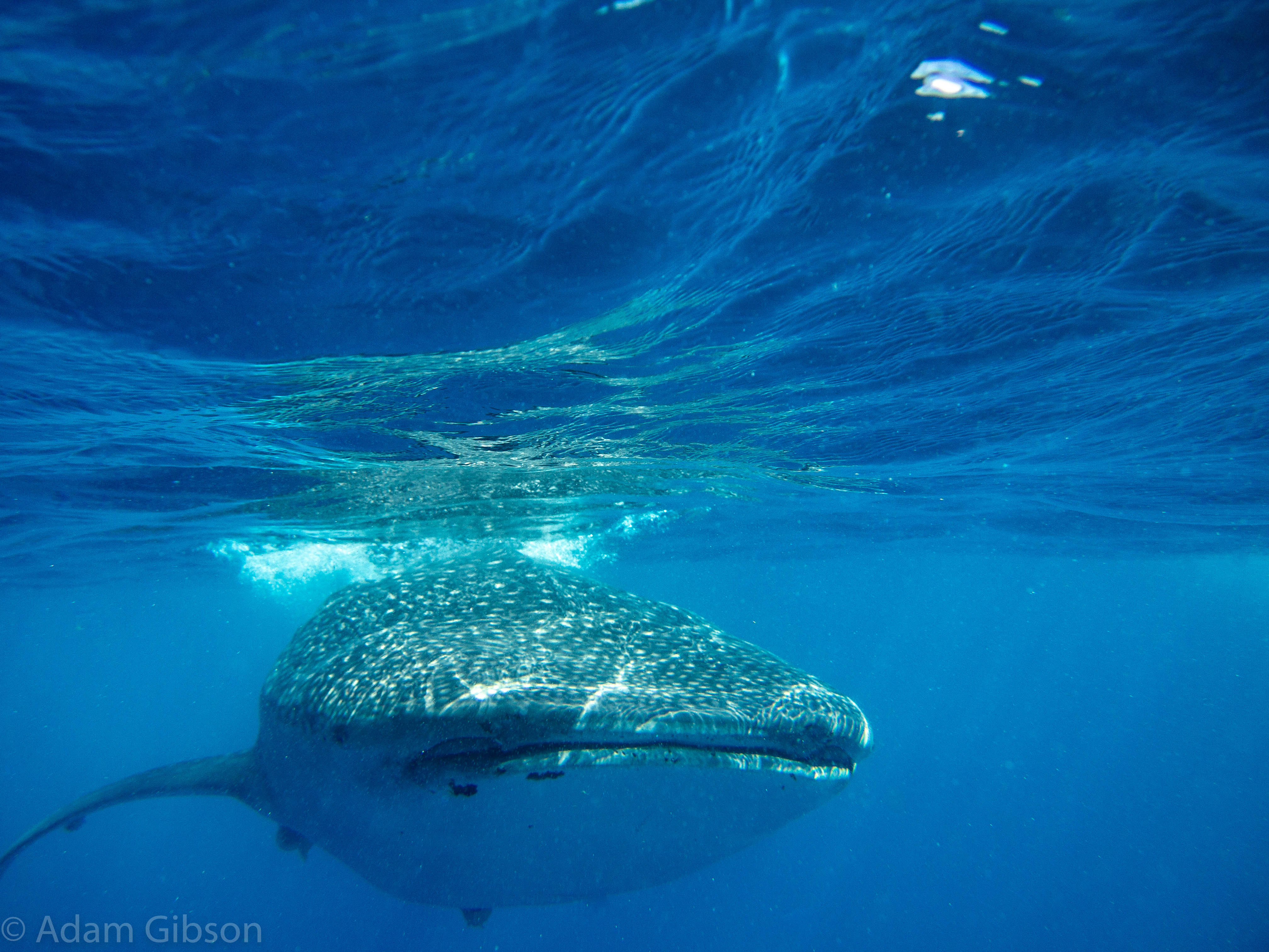 Upclose whale shark diving encounter in Isla Mujeres, Mexico