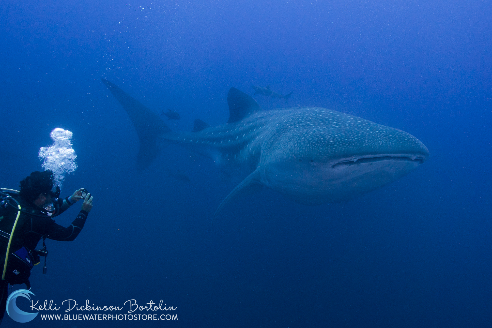 Galapagos whale shark at Wolf & Darwin Islands