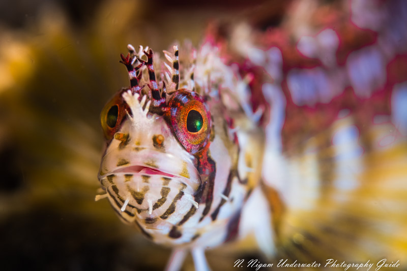 Spectacular resolution with the Canon EOS R5. Photo of a mosshead warbonnet captured with the Canon EOS R5 in an Ikelite housing, Canon 100 mm macro lens, dual Ikelite DS 161 strobes, Kraken +13 diopter, and Ikelite Canon TTL converter. f/16, 1/160, ISO 100