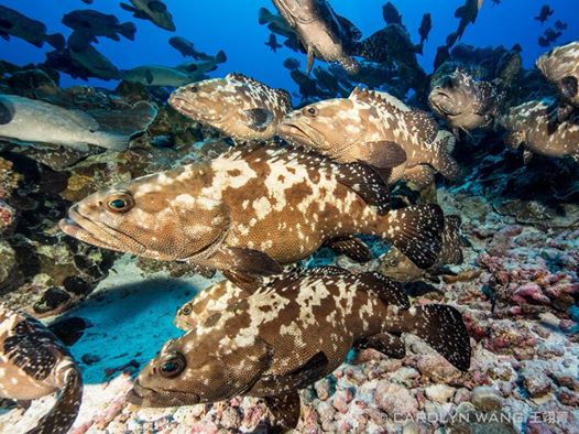 Groupers - underwater photo with the Olympus E-M1 housing